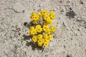Wallace's woolly daisy (Eriophyllum wallacei)