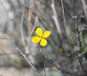 Little Gold Poppy (Eschscholzia minutiflora)