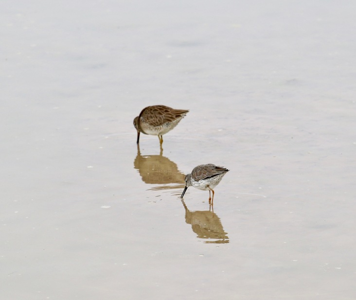 Stilt Sandpiper and Long-billed Dowitcher