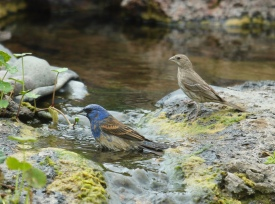 Blue Grosbeak and House Finch