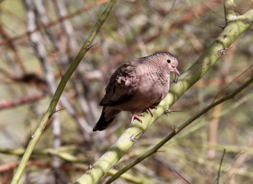 First lifer of 2018: Common Ground-Dove